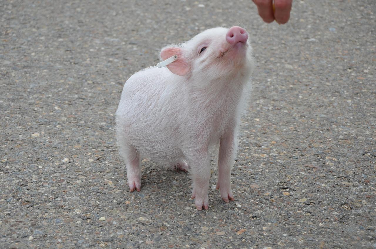 Los cerdos son capaces de aprender y recordar