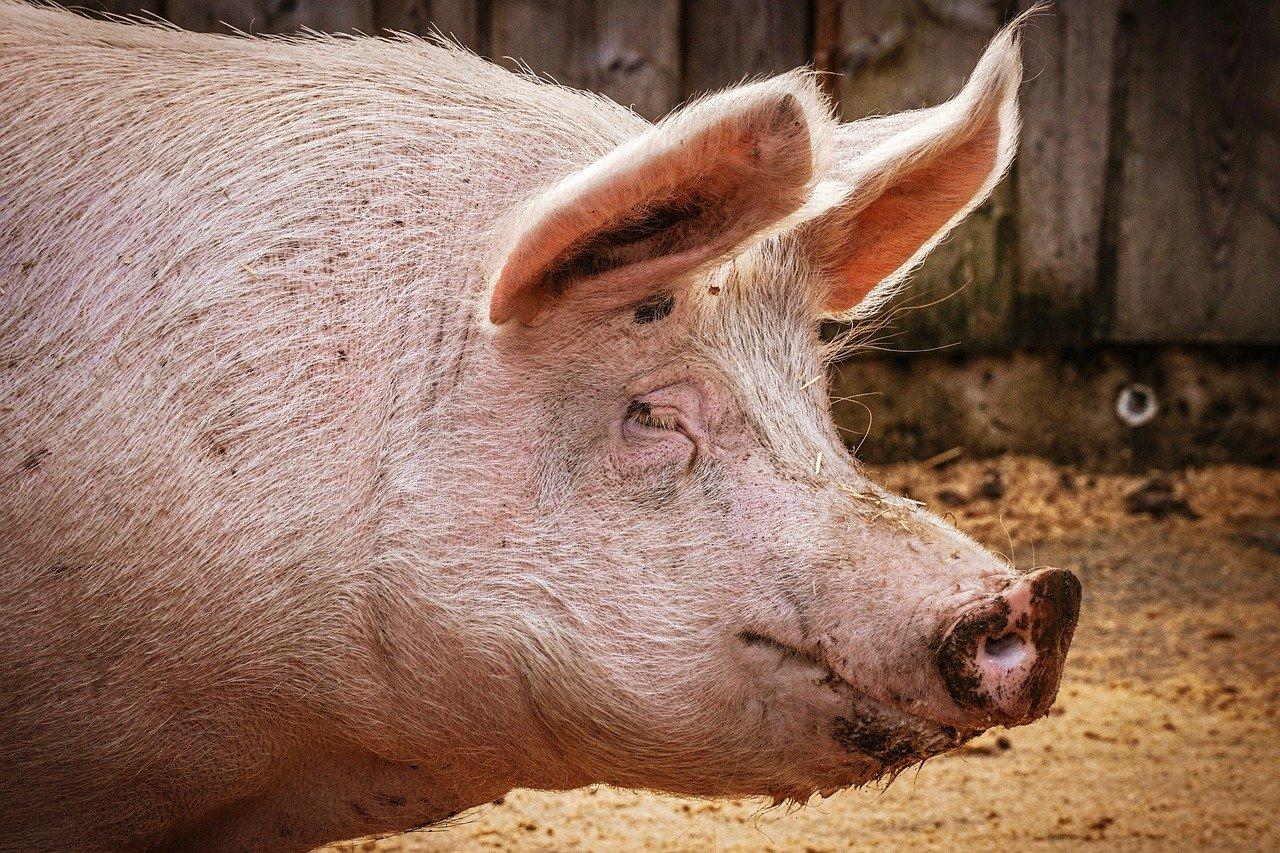 producción porcina